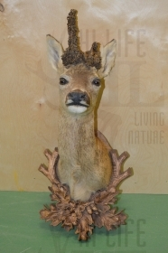 003CAPI Taxidermy roedeer trophy, head, hunting, skull, horn, antler