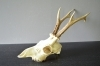 246CA Trophy roedeer 314g. Hunting. Collection. Decoration. Fireplace