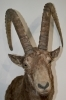 003 Trophy ibex. taxidermy ibex. Antlers. Bouquetin Horns 109-116cm