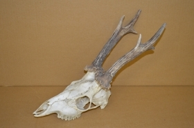 558CA Trophy roedeer 464g. Hunting. Collection. Deer. Antlers