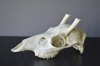 053SKU Sika deer skull, antlers, horns, hunting, diameter 17mm
