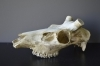 069SKU Deer skull, stag, antlers, horns, hunting, diameter 35mm