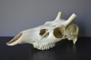 071SKU Deer skull, stag, antlers, horns, hunting, diameter 18mm