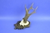 205CA Trophy deer. Hunting. Horns. Chalet. Decoration. Fireplace