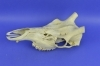 097SKU Stag Deer skull, antlers, horns, hunting, diameter 25mm